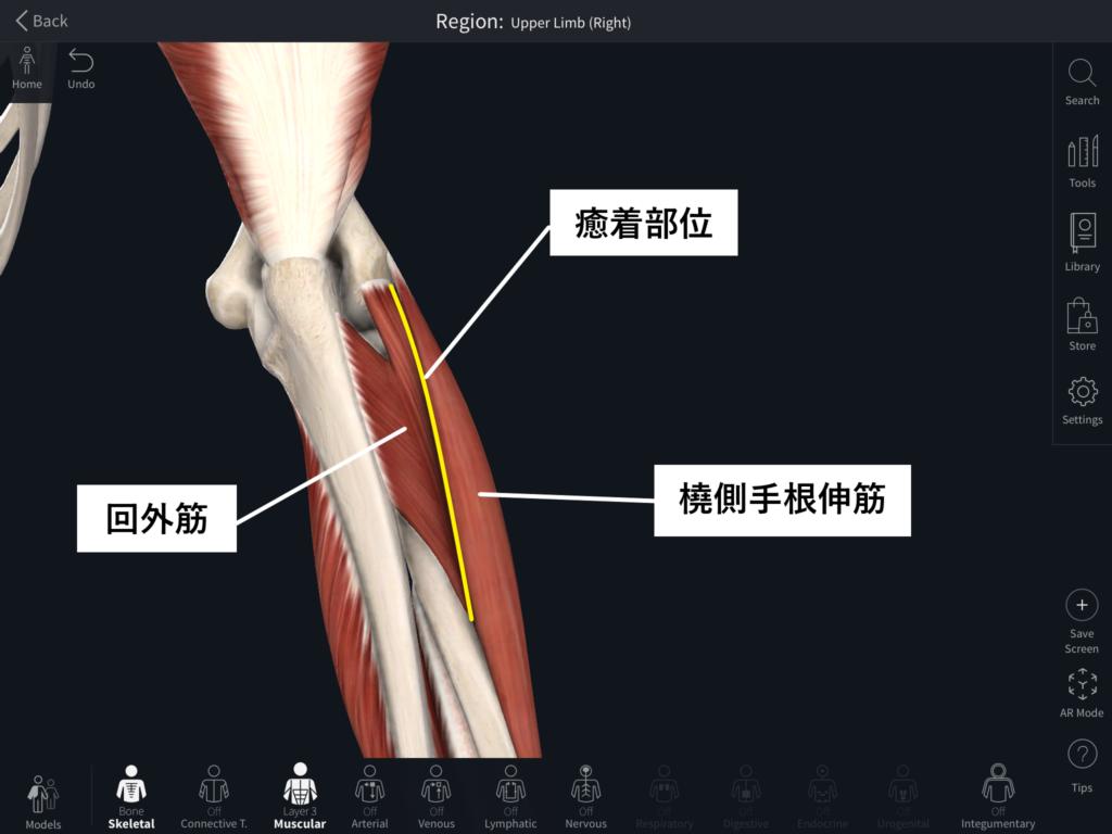 回外筋、橈側手根伸筋