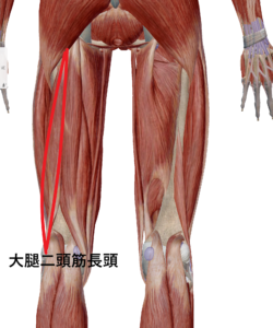 大腿二頭筋長頭